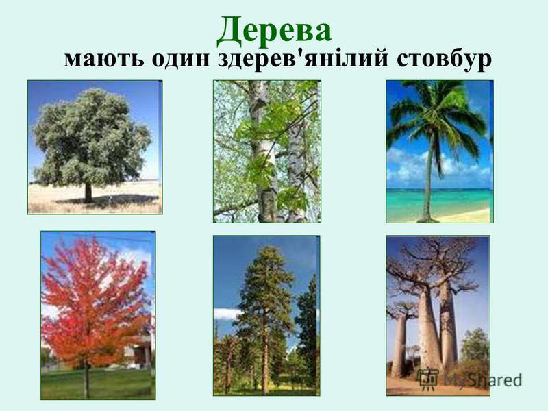 Дерева мають один здерев'янілий стовбур