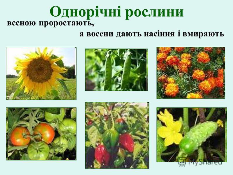 Однорічні рослини весною проростають, а восени дають насіння і вмирають