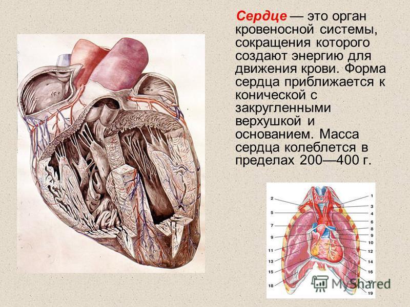 Сердце это орган кровеносной системы, сокращения которого создают энергию для движения крови. Форма сердца приближается к конической с закругленными верхушкой и основанием. Масса сердца колеблется в пределах 200400 г.