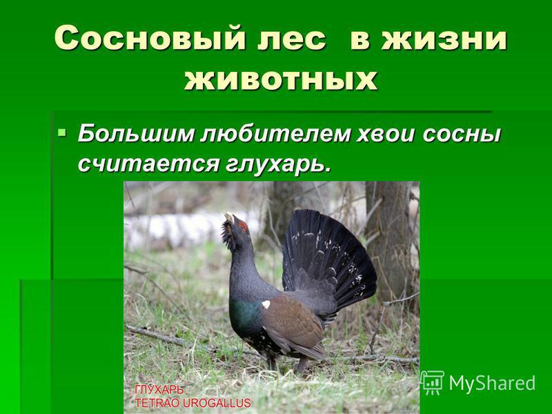 Сосновый лес в жизни животных Большим любителем хвои сосны считается глухарь. Большим любителем хвои сосны считается глухарь.