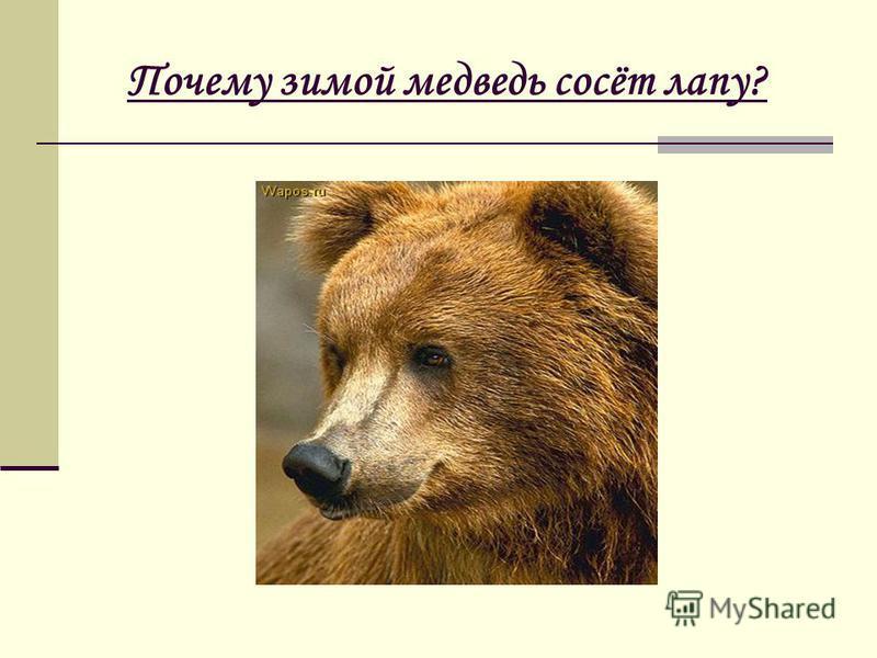 Почему зимой медведь сосёт лапу?