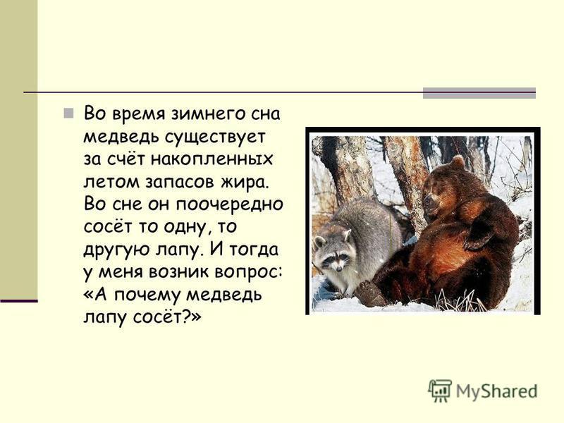 Во время зимнего сна медведь существует за счёт накопленных летом запасов жира. Во сне он поочередно сосёт то одну, то другую лапу. И тогда у меня возник вопрос: «А почему медведь лапу сосёт?»