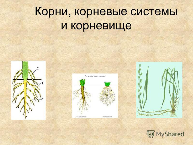 Корни, корневые системы и корневище