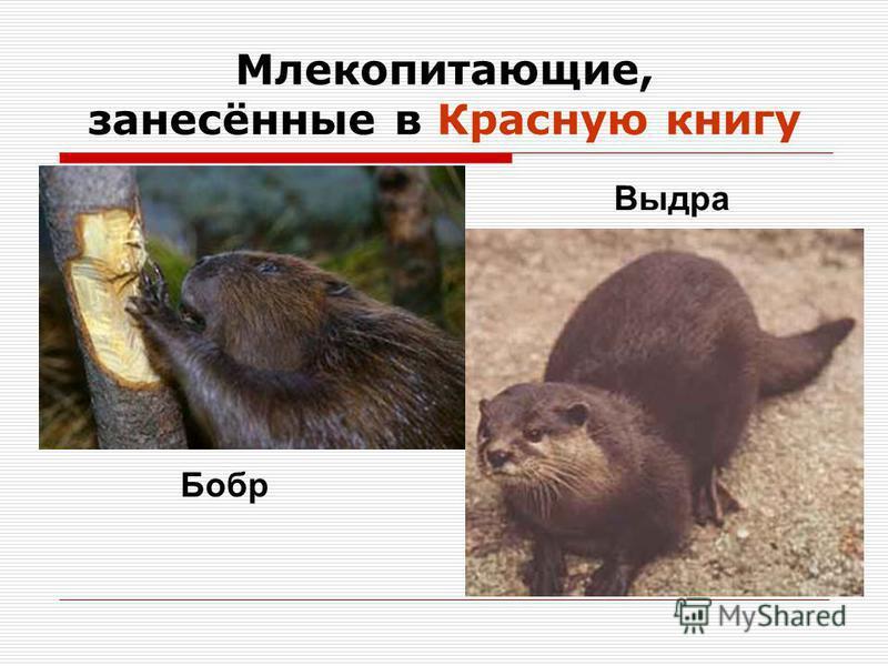 Млекопитающие, занесённые в Красную книгу Бобр Выдра