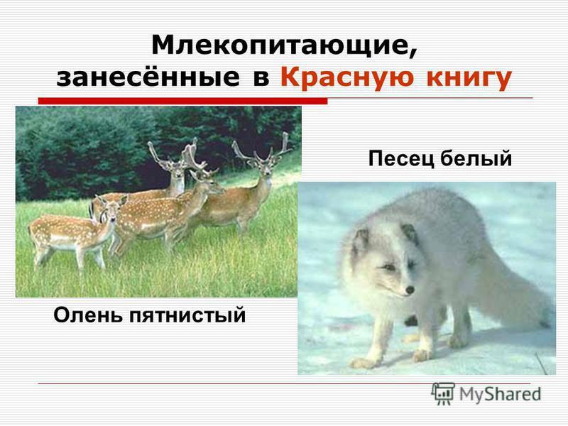 Млекопитающие, занесённые в Красную книгу Олень пятнистый Песец белый