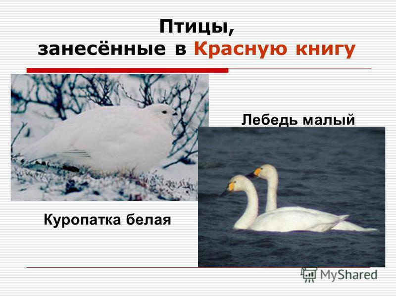 Птицы, занесённые в Красную книгу Куропатка белая Лебедь малый
