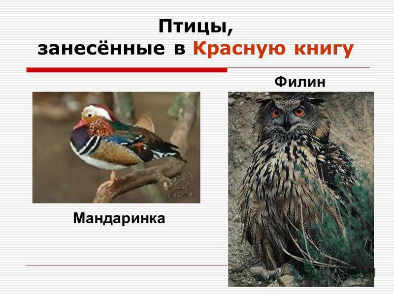Птицы, занесённые в Красную книгу Мандаринка Филин