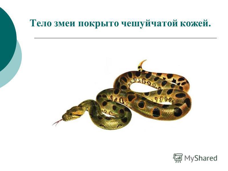 Тело змеи покрыто чешуйчатой кожей.