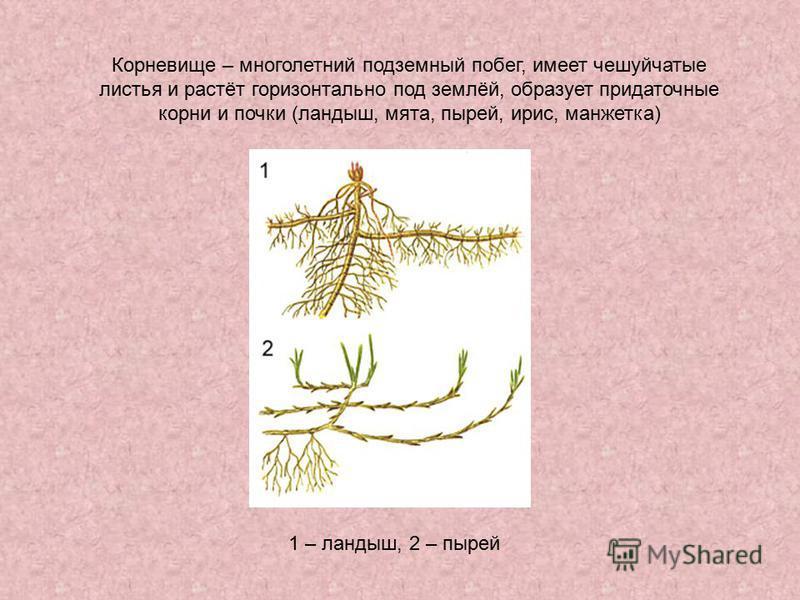 Корневище – многолетний подземный побег, имеет чешуйчатые листья и растёт горизонтально под землёй, образует придаточные корни и почки (ландыш, мята, пырей, ирис, манжетка) 1 – ландыш, 2 – пырей