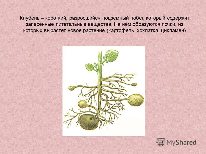 Клубень – короткий, разросшийся подземный побег, который содержит запасённые питательные вещества. На нём образуются почки, из которых вырастет новое растение (картофель, хохлатка, цикламен)