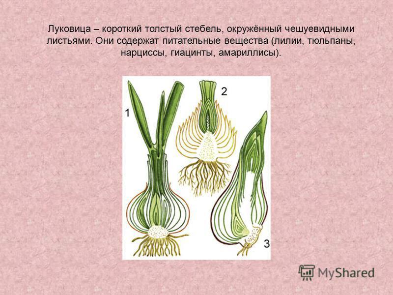 Луковица – короткий толстый стебель, окружённый чешуевидными листьями. Они содержат питательные вещества (лилии, тюльпаны, нарциссы, гиацинты, амариллисы).