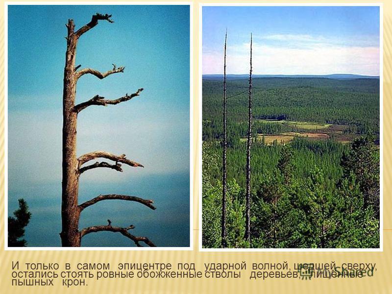 И только в самом эпицентре под ударной волной, шедшей сверху, остались стоять ровные обожженные стволы деревьев, лишённые пышных крон.