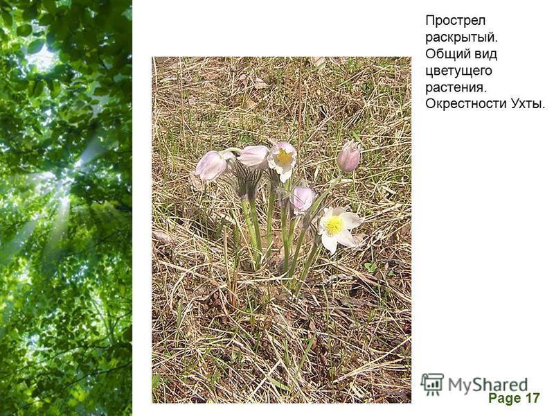 Free Powerpoint Templates Page 17 Прострел раскрытый. Общий вид цветущего растения. Окрестности Ухты.