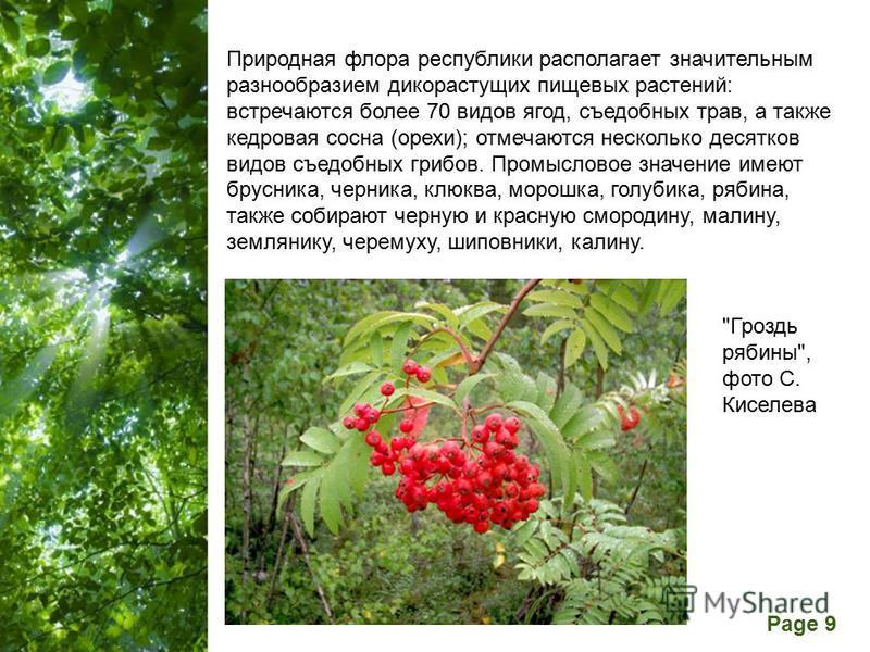 Free Powerpoint Templates Page 9 Природная флора республики располагает значительным разнообразием дикорастущих пищевых растений: встречаются более 70 видов ягод, съедобных трав, а также кедровая сосна (орехи); отмечаются несколько десятков видов съе