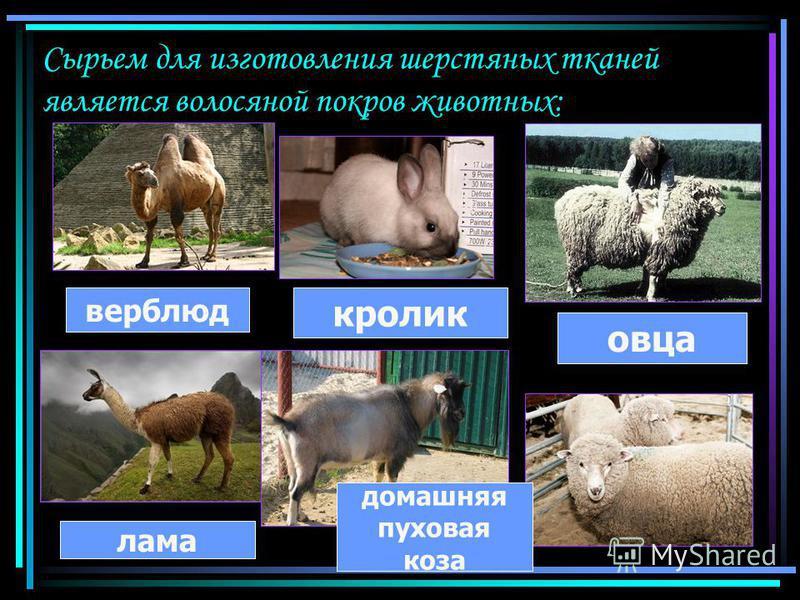 Сырьем для изготовления шерстяных тканей является волосяной покров животных: верблюд лама домашняя пуховая коза овца кролик