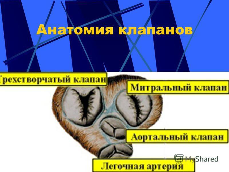 Анатомия клапанов
