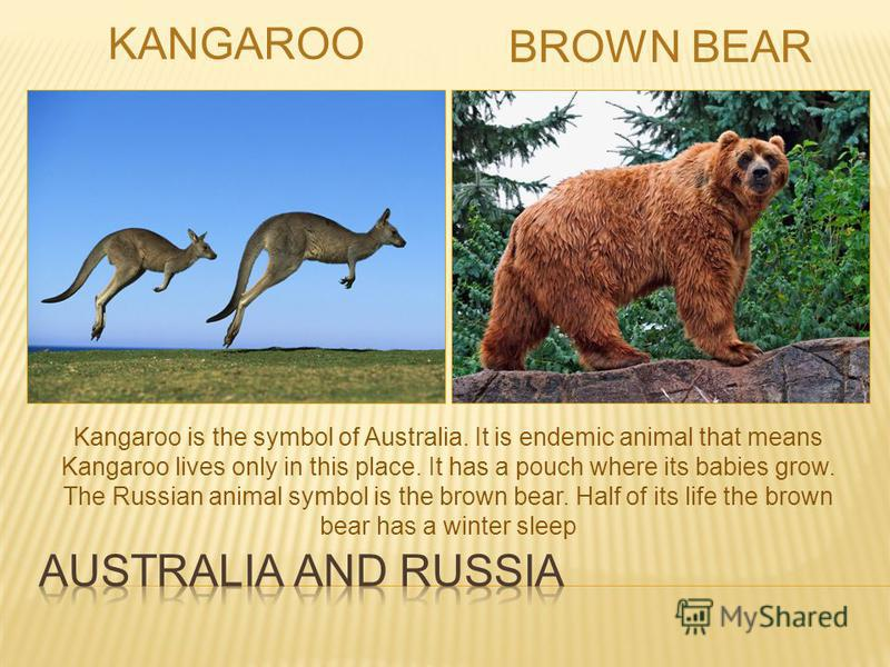 KANGAROO BROWN BEAR Kangaroo is the symbol of Australia. It is endemic animal that means Kangaroo lives only in this place. It has a pouch where its babies grow. The Russian animal symbol is the brown bear. Half of its life the brown bear has a winte