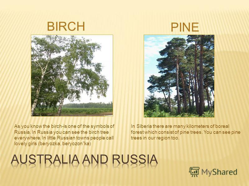 BIRCH PINE As you know the birch-is one of the symbols of Russia. In Russia you can see the birch tree everywhere. In little Russian towns people call lovely girls (beryozka, beryozonka) In Siberia there are many kilometers of boreal forest which con