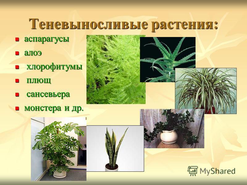Теневыносливые растения: аспарагусы аспарагусы алоэ алоэ хлорофитумы хлорофитумы плющ плющ сансевьера сансевьера монстера и др. монстера и др.