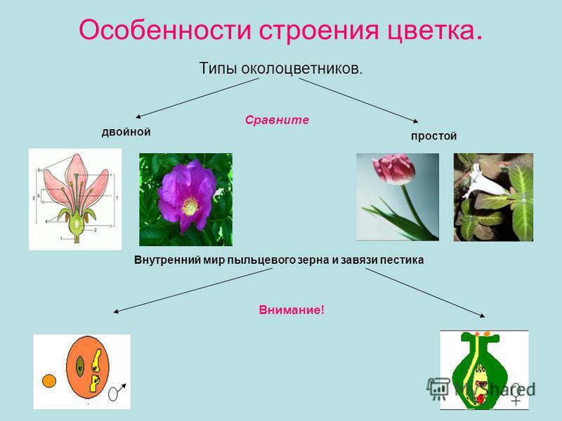 Особенности строения цветка. Типы околоцветников. двойной простой Внутренний мир пыльцевого зерна и завязи пестика Сравните Внимание!