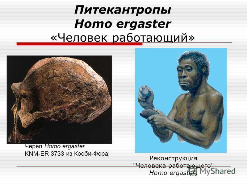 «Ранние» Homo Стопа Человека умелого Homo habilis OH 8 из Олдувая; Череп Человека умелого« Homo habilis OH 24 из Олдувая;
