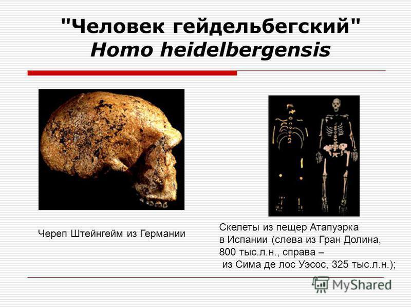 «Человек гейдельбергский» Homo heidelbergensis Нижняя челюсть Мауэр из-под Гейдельберга (Германия), послужившая основой для описания вида Homo heidelbergensis Реконструкция облика Араго 21 из Франции