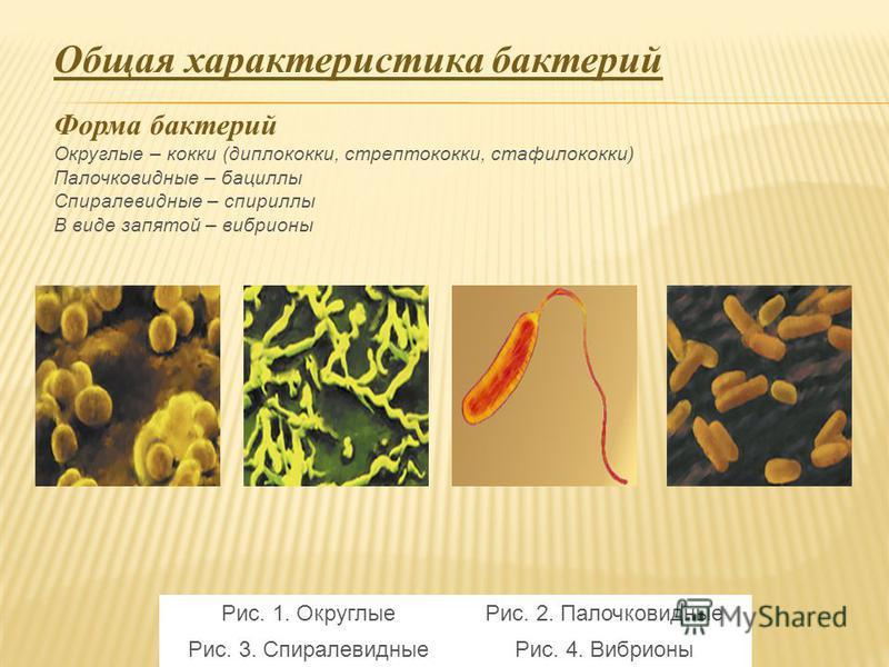 Общая характеристика бактерий Форма бактерий Округлые – кокки (диплококки, стрептококки, стафилококки) Палочковидные – бациллы Спиралевидные – спириллы В виде запятой – вибрионы Рис. 1. Округлые Рис. 2. Палочковидные Рис. 3. Спиралевидные Рис. 4. Виб