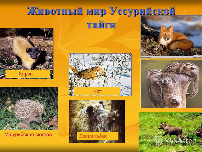 Животный мир Уссурийской тайги Уссурийская мохера кот Харза Дикий кабан