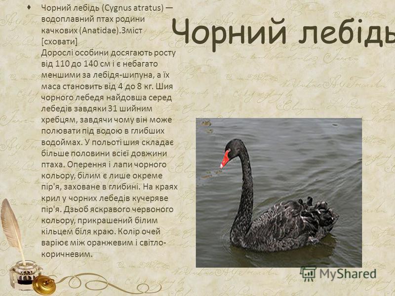 Чорний лебідь Чорний лебідь (Cygnus atratus) водоплавний птах родини качкових (Anatidae).Зміст [сховати] Дорослі особини досягають росту від 110 до 140 см і є небагато меншими за лебідя-шипуна, а їх маса становить від 4 до 8 кг. Шия чорного лебедя на