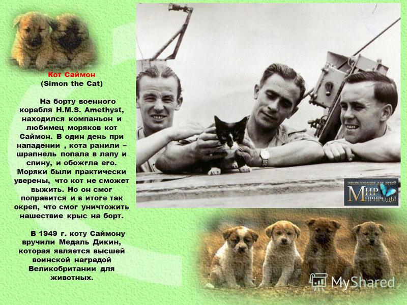 Кот Саймон (Simon the Cat) На борту военного корабля H.M.S. Amethyst, находился компаньон и любимец моряков кот Саймон. В один день при нападении, кота ранили – шрапнель попала в лапу и спину, и обожгла его. Моряки были практически уверены, что кот н