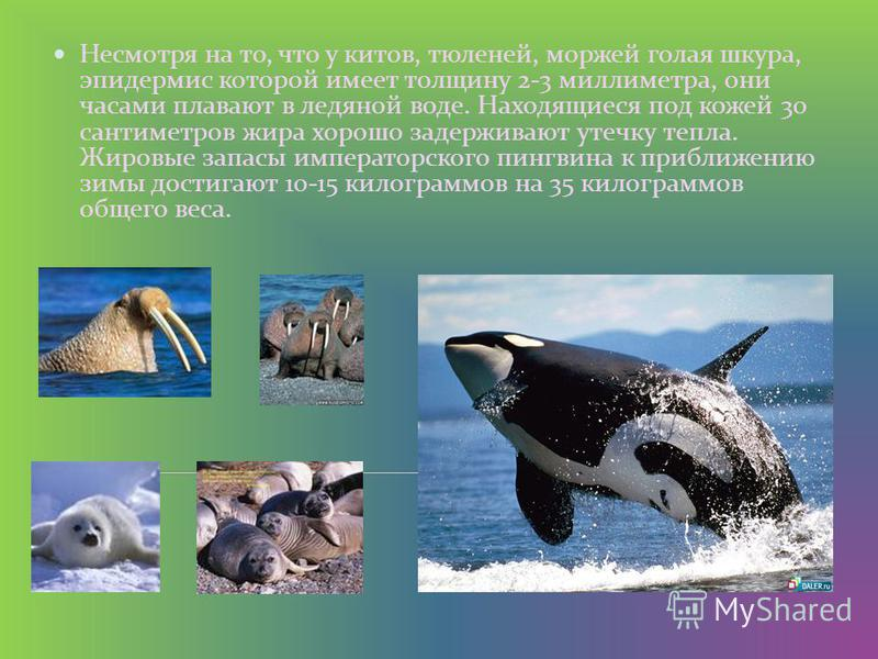 Несмотря на то, что у китов, тюленей, моржей голая шкура, эпидермис которой имеет толщину 2-3 миллиметра, они часами плавают в ледяной воде. Находящиеся под кожей 30 сантиметров жира хорошо задерживают утечку тепла. Жировые запасы императорского пинг