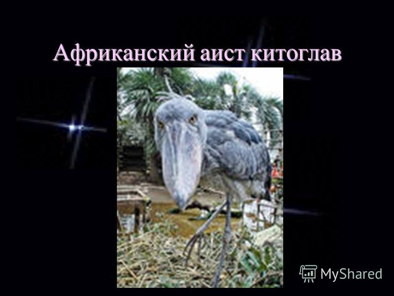 Африканский аист китоглав