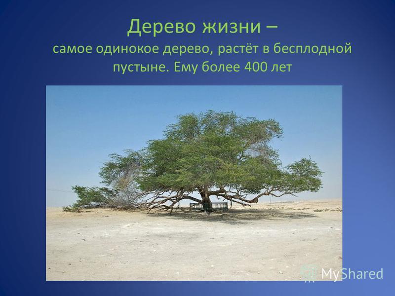 Дерево жизни – самое одинокое дерево, растёт в бесплодной пустыне. Ему более 400 лет