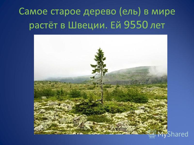 Самое старое дерево (ель) в мире растёт в Швеции. Ей 9550 лет