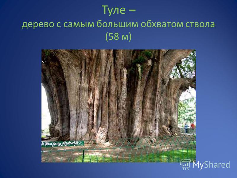 Туле – дерево с самым большим обхватом ствола (58 м)