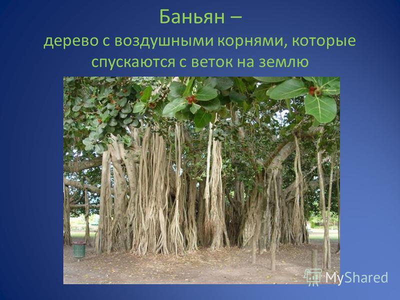 Баньян – дерево с воздушными корнями, которые спускаются с веток на землю