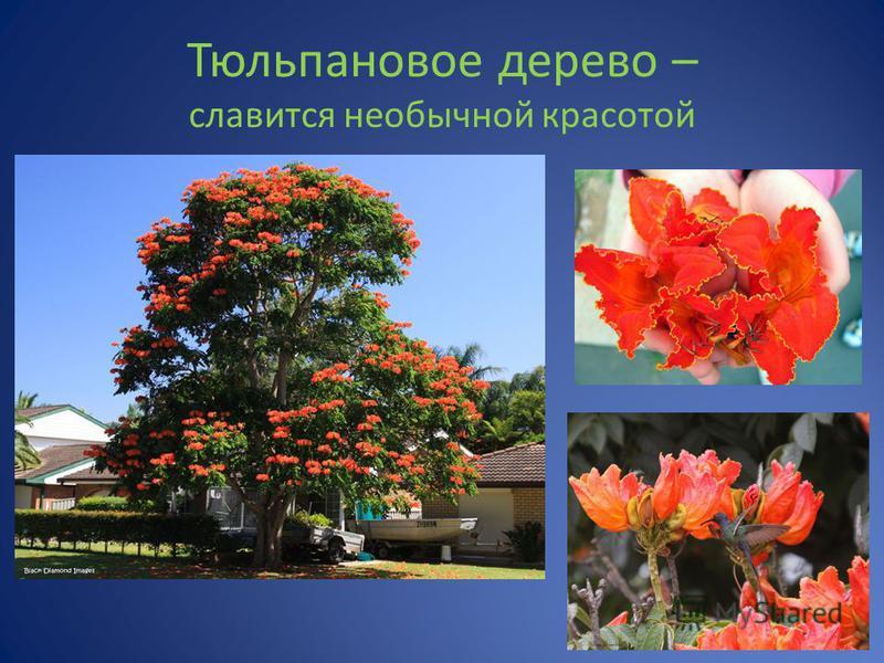Тюльпановое дерево – славится необычной красотой