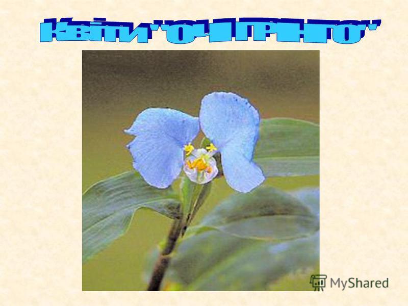 В аргентинській пампі росте дивної краси квітка: синьоока красуня з яскраво-блакитними пелюстками. Ботаніки називають рослину комеліною розсіяною (Commelina diffusa), а аргентинці називають «охос де грінго», що в перекладі з іспанської «око грінго».