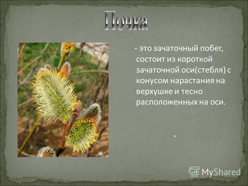 - это зачаточный побег, состоит из короткой зачаточной оси(стебля) с конусом нарастания на верхушке и тесно расположенных на оси.