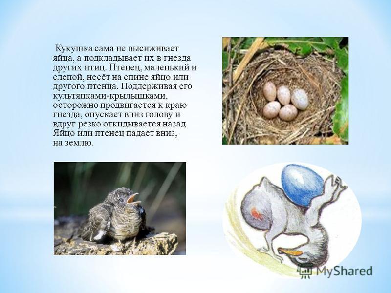 Кукушка сама не высиживает яйца, а подкладывает их в гнезда других птиц. Птенец, маленький и слепой, несёт на спине яйцо или другого птенца. Поддерживая его культяпками-крылышками, осторожно продвигается к краю гнезда, опускает вниз голову и вдруг ре