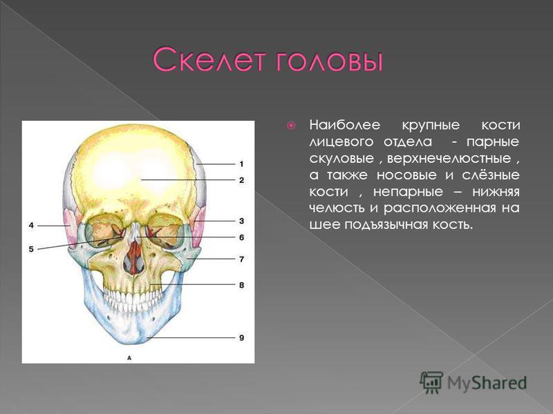 Наиболее крупные кости лицевого отдела - парные скуловые, верхнечелюстные, а также носовые и слёзные кости, непарные – нижняя челюсть и расположенная на шее подъязычная кость.