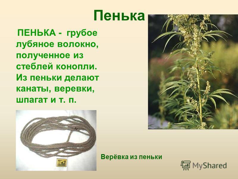 Пенька ПЕНЬКА - грубое лубяное волокно, полученное из стеблей конопли. Из пеньки делают канаты, веревки, шпагат и т. п. Верёвка из пеньки