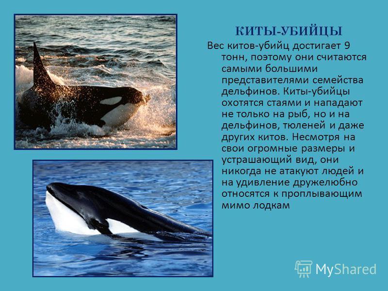 КИТЫ-УБИЙЦЫ Вес китов-убийц достигает 9 тонн, поэтому они считаются самыми большими представителями семейства дельфинов. Киты-убийцы охотятся стаями и нападают не только на рыб, но и на дельфинов, тюленей и даже других китов. Несмотря на свои огромны