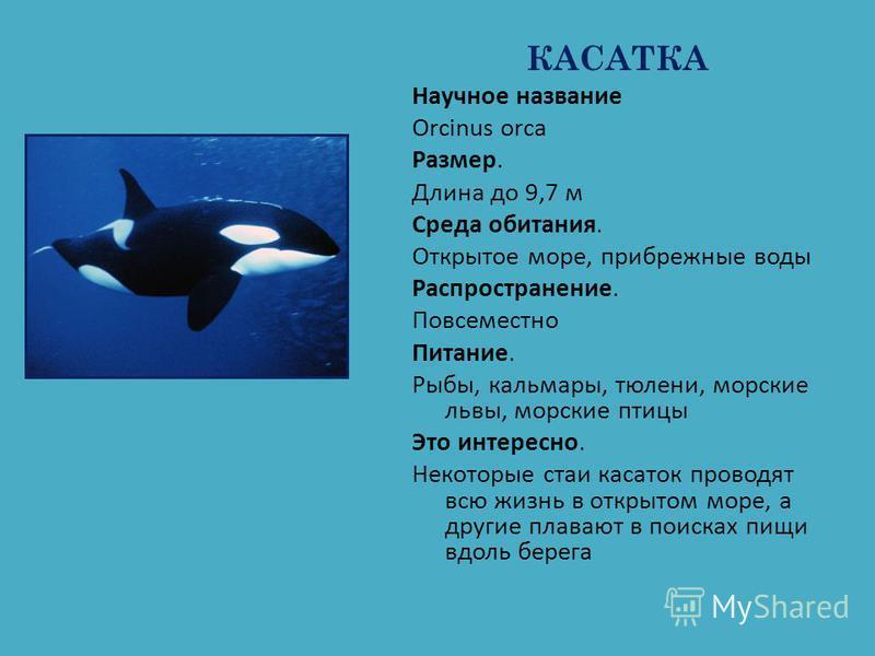 КАСАТКА Научное название Orcinus orca Размер. Длина до 9,7 м Среда обитания. Открытое море, прибрежные воды Распространение. Повсеместно Питание. Рыбы, кальмары, тюлени, морские львы, морские птицы Это интересно. Некоторые стаи касаток проводят всю ж