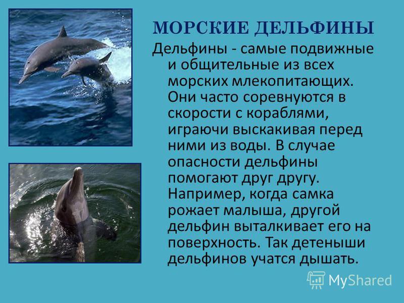 МОРСКИЕ ДЕЛЬФИНЫ Дельфины - самые подвижные и общительные из всех морских млекопитающих. Они часто соревнуются в скорости с кораблями, играючи выскакивая перед ними из воды. В случае опасности дельфины помогают друг другу. Например, когда самка рожае