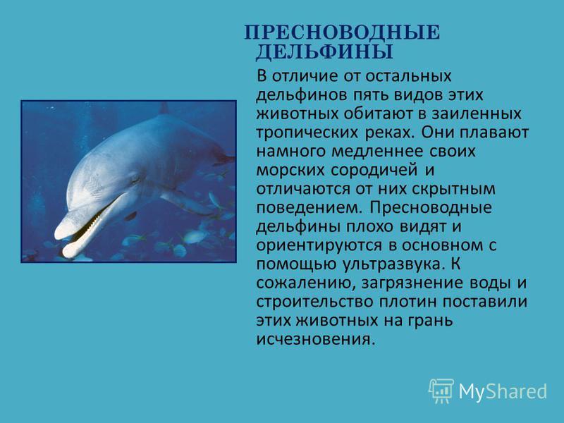 ПРЕСНОВОДНЫЕ ДЕЛЬФИНЫ В отличие от остальных дельфинов пять видов этих животных обитают в заиленных тропических реках. Они плавают намного медленнее своих морских сородичей и отличаются от них скрытным поведением. Пресноводные дельфины плохо видят и