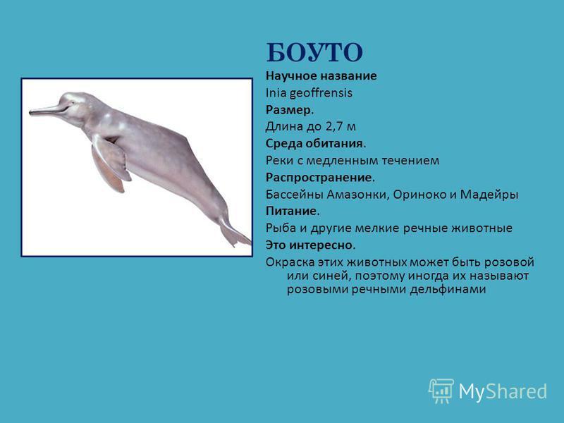 БОУТО Научное название Inia geoffrensis Размер. Длина до 2,7 м Среда обитания. Реки с медленным течением Распространение. Бассейны Амазонки, Ориноко и Мадейры Питание. Рыба и другие мелкие речные животные Это интересно. Окраска этих животных может бы