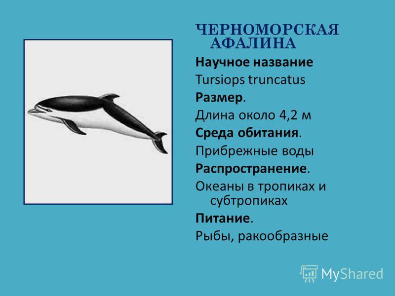 ЧЕРНОМОРСКАЯ АФАЛИНА Научное название Tursiops truncatus Размер. Длина около 4,2 м Среда обитания. Прибрежные воды Распространение. Океаны в тропиках и субтропиках Питание. Рыбы, ракообразные