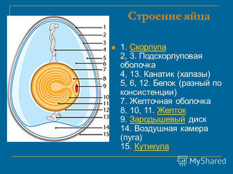 Строение яйца 1. Скорлупа 2, 3. Подскорлуповая оболочка 4, 13. Канатик (халазы) 5, 6, 12. Белок (разный по консистенции) 7. Желточная оболочка 8, 10, 11. Желток 9. Зародышевый диск 14. Воздушная камера (пуха) 15. Кутикула СкорлупаЖелток ЗародышевыйКу