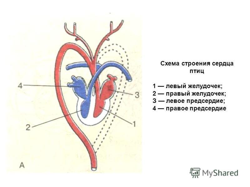 Схема строения сердца птиц 1 левый желудочек; 2 правый желудочек; З левое предсердие; 4 правое предсердие